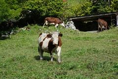 Vaches @ Plan de la Forclaz @ Le Grand-Bornand