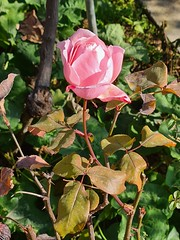 first roses of early spring