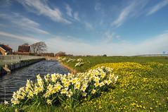Osterglocken Niederlande bei Amsterdam