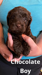 Baylee Boy Chocolate pic 2 3-13