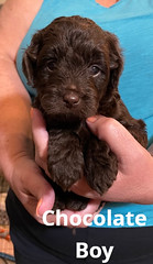 Baylee Boy Chocolate pic 3 3-13