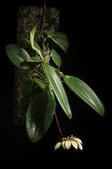 Bulbophyllum venulosum J.J.Verm. & A.L.Lamb, Malesian Orchid J. 1: 49 (2008).
