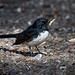 Willie Wagtail: Taking off the rough bits