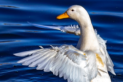 """White duck • <a style=""""font-size:0.8em;"""" href=""""http://www.flickr.com/photos/125767964@N08/51035572533/"""" target=""""_blank"""">View on Flickr</a>"""
