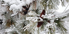 March 14, 2021 - Pretty pines in the snow. (ThorntonWeather.com)