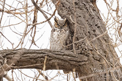 March 13, 2021 - A great horned owl sleeping on high. (Tony's Takes)