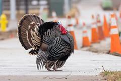 March 13, 2021 - A turkey tom struts through Eastlake. (Tony's Takes)