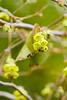 トサミズキに蜜蜂
