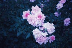 Stratford Ontario ~ Canada ~  Roses End of Season Flower ~ Shakespearean  Garden Botanical  ~ Heritage