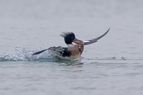 Red-breasted Merganser, Pathhead, Fife