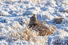 Merlin on the snowy plains