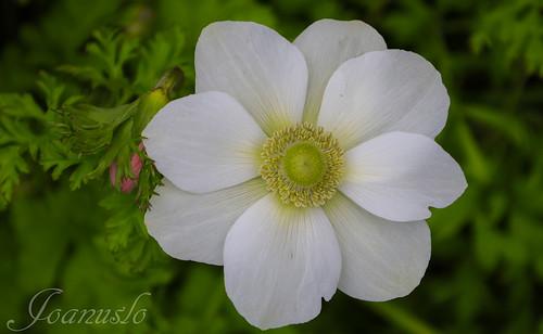 Anemone Hibrida