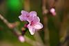 桃の花(白鳳)