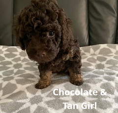 Baylee Choc & Tan Girl pic 2 3-20