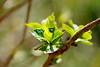 紫陽花の新葉