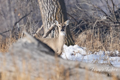 March 20, 2021 - A curious deer doe. (Tony's Takes)