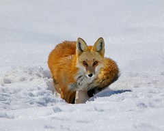 March 18, 2021 - A fox looks for a meal in the fresh snow. (Bill Hutchinson)