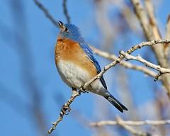 March 21, 2021 - An eastern bluebird. (Bill Hutchinson)