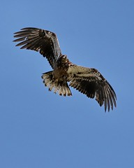 March 21, 2021 - A juvenile bald eagle flyby. (Bill Hutchinson)