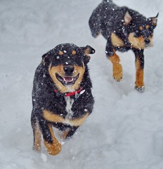 March 14, 2021 - Pups play in the blizzard. (Bill Hutchinson)