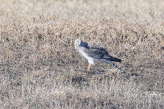March 21, 2021 - A northern harrier keeping watch. (Tony's Takes)