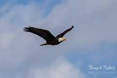 March 21, 2021 - A beautiful bald eagle flyby. (Tony's TakeS)