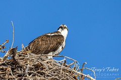 March 21, 2021 - The first osprey of the season. (Tony's Takes)