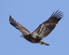 March 18, 2021 - Juvenile bald eagle flyby. (Bill Hutchinson)