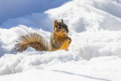 March 17, 2021 - A squirrel looking for a meal. (Tony's Takes)