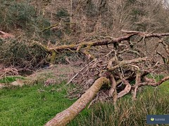 Photo of A Tangly Tree in North Devon