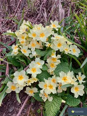 Photo of North Devon Primroses