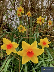 Photo of Clumps of Narcissi trumpet the arrival of spring in a North Devon hedgerow.