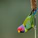 A Plum Headed Parakeet Feasting on millet cobs