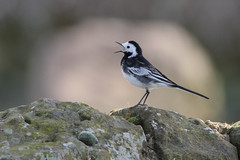 Photo of Wagtail