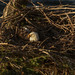 Sunrise on the nest...mama is keeping the egg warm.