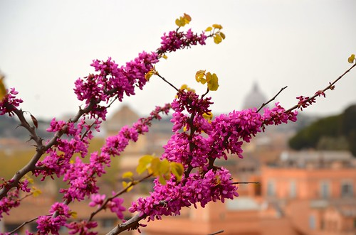 Redbud In Bloom On The Palatine Hill