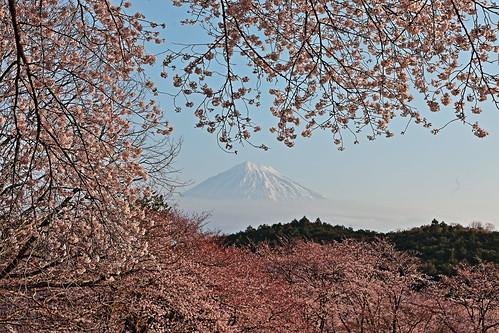 sakura.Iwamotoyama Park