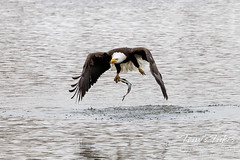 Bald eagle nails the catch