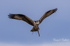 March 28, 2021 - An osprey works on its nest. (Tony's Takes)