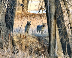 March 23, 2021 - Coyotes on the prowl. (Bill Hutchinson)