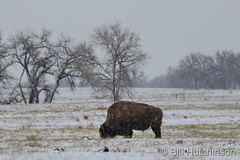 March 24, 2021 - Bison in the morning snow. (Bill Hutchinson)