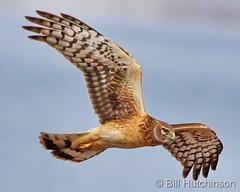 March 24, 2021 - Harrier flyby. (Bill Hutchinson)