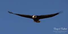 March 27, 2021 - Bald eagle flyby. (Tony's Takes)