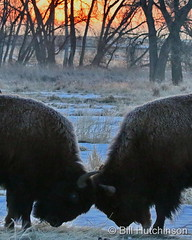 March 23, 2021 - Bison go head to head at sunrise. (Bill Hutchinson)