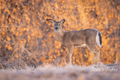 March 27, 2021 - White-tailed deer doe. (Tony's Takes)