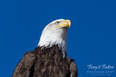 March 27, 2021- Regal bald eagle close up. (Tony's Takes)