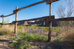 Bluebonnets on a Fence Line in Big Bend