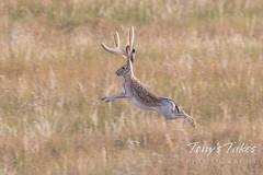 Extraordinarily rare jackalope bounds across the plains
