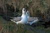 Northern Fulmar, Dysart, Fife