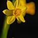 Daffodil in Evening Sun